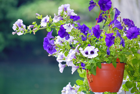 hanging basket: Beautiful decorative violet and white flowers potted in hanging basket Stock Photo