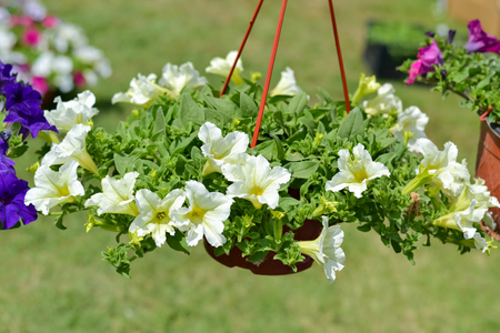 hanging basket: Beautiful decorative white flowers potted in hanging basket