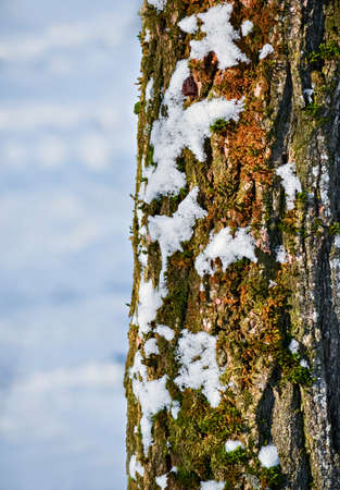 bole: Closeup of a tree with moss and ice in a cold winter day Stock Photo