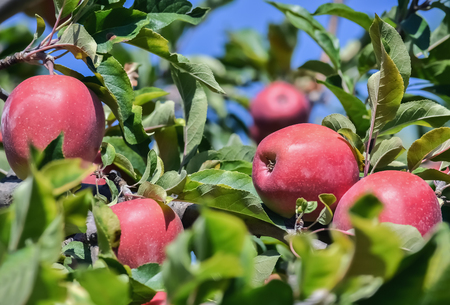Closeup of ripe red apples hanging on a tree in the orchard