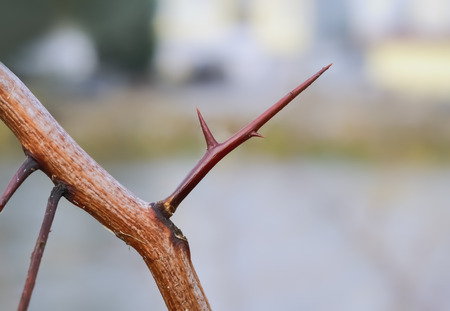 Closeup of a big red thorn on a dry twig