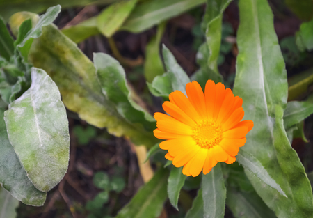 Detail of an orange wildflower surrounded with green leaves
