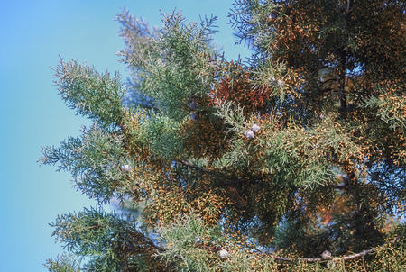Detail of a wild coniferous tree in a beautiful sunny day 写真素材