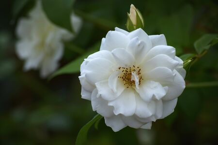 Lovely white rose and a bud blooming in the garden