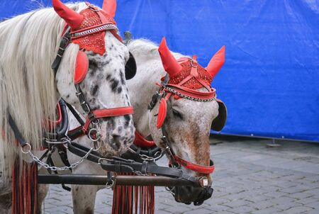 Heads of two beautiful horses with reins and blinkers on the street