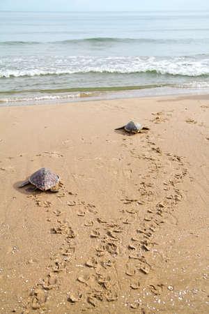 two Loggerhead Sea Turtles go to the Mediterranean sea