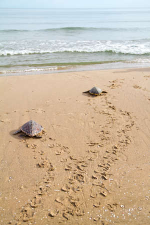 two Loggerhead Sea Turtles go to the Mediterranean sea