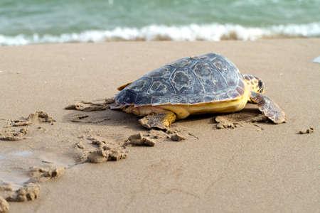 Loggerhead Sea Turtle go to the Mediterranean sea