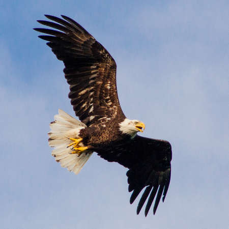 flying eagle: Eagle flying overhead Stock Photo