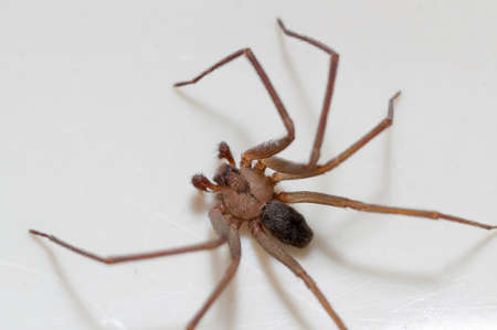 Brown Recluse Spider sitting on a white background