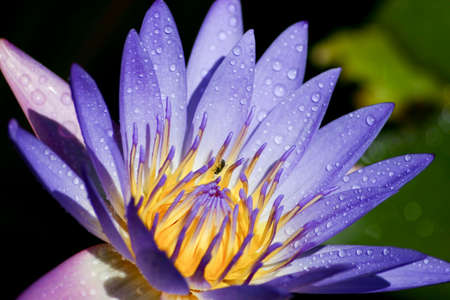 Water lily with a wasp crawling on it  photo