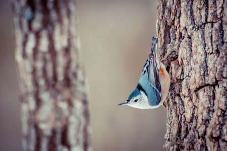 White Brested Nuthatch searching for food in winter