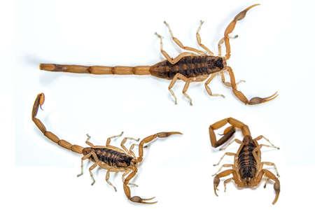 A small venomous scorpion ,Centruroides vittatus,  isolated on a white background  Stock Photo