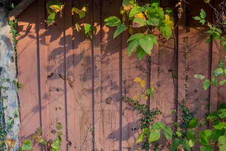 Grungy wooden textures over grown with vines and weeds Stock fotó