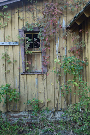 over grown: Grungy wooden textures over grown with vines and weeds Stock Photo