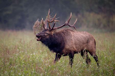 Trophy-class Bull Elk in dense morning fog; Buffalo National River big game, elk,  deer hunting