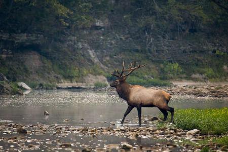 Bull Elk crossing Buffalo  River in Arkansas Stock fotó