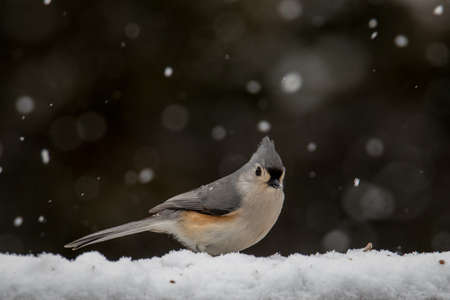 A brightly colored american song bird looking for food in the snow. Stock Photo