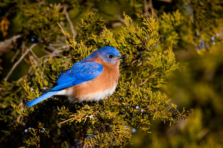 Eastern Bluebird eating berries from our evergreen tree on a very cold day.