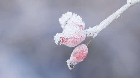 Hoarfrost on rose hips Stock Photo
