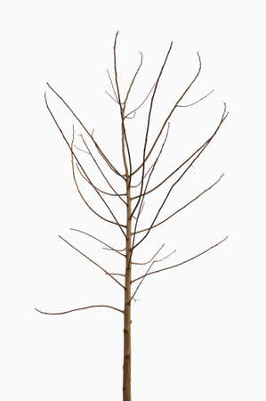 lonely young tree, without leaves, isolated on white background photo