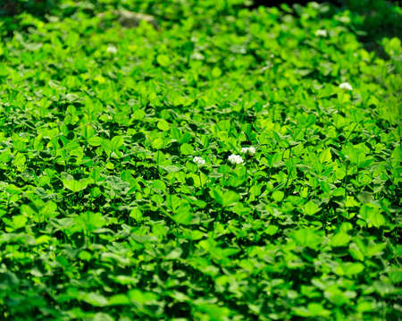 cloverleafes: background - a flowering meadow clover, bathed in sunshine