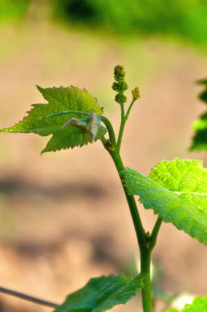 sauternes: A bunch of very young grapes on a branch. Stock Photo