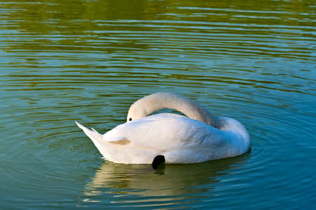 The white swan on a pond cleans feathers photo