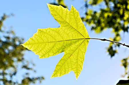 Lonely leaf of a plane tree, against the blue sky and green foliage. photo