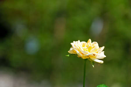 Background - a lonely yellow rose the fairy, against greens photo
