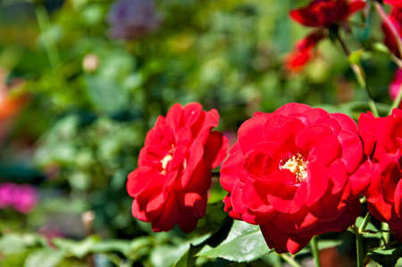 Floral background - Red rose europiana photo