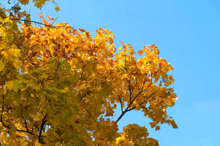 Yellow autumn Maple leaves against the blue sky. photo