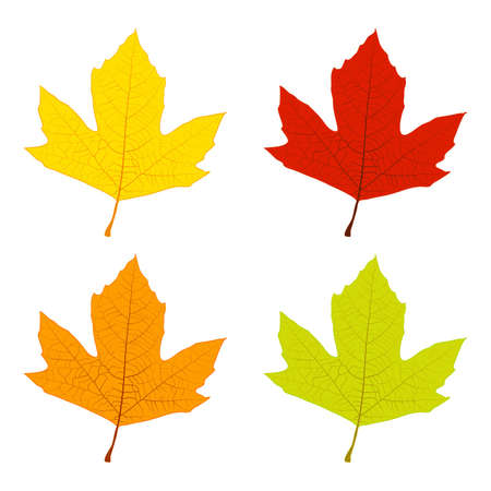 sycamore: Set of colored sycamore leaves, green, yellow, orange, red. EPS10 vector. Illustration