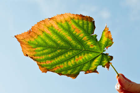 Ragged autumn leaf in a female hand Stock Photo - 15586165