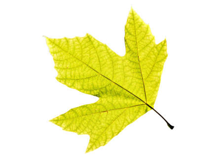 Lonely leaf of a plane tree, isolated on a white background.
