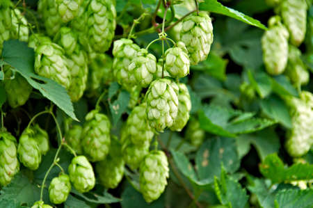 Agriculture Background - crop of fresh ripe hop. photo