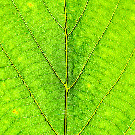 Green Leaf Background - horizontal view. photo