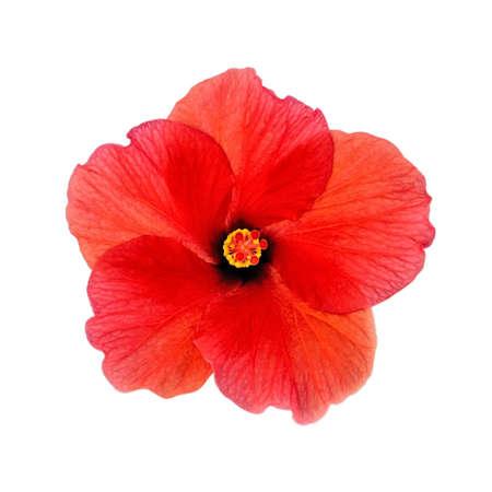 赤の咲くハイビスカス、クローズ アップ、白い背景で隔離の頭。