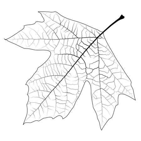 デザイン要素 - 高詳細なプラタナスの葉は、任意の色でペイントできます。EPS10 ベクトル。