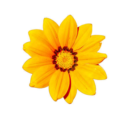 Gazania - Yellow flower head, isolated on a white background  Stock Photo - 19297644