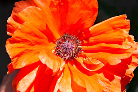 Floral background - blooming red poppy  Closeup  photo