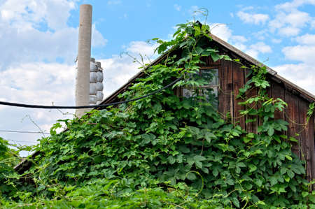 Old rural house overgrown with hops  photo