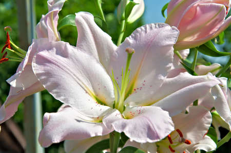 Bouquet Of Lilies, closeup  photo