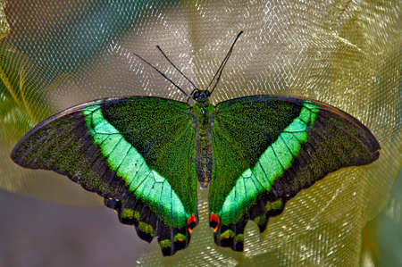 Green butterfly is resting  Closeup  photo