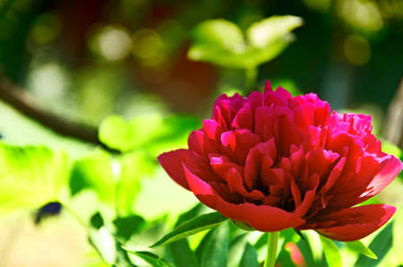Peony flower alfresco  Single  Closeup  photo