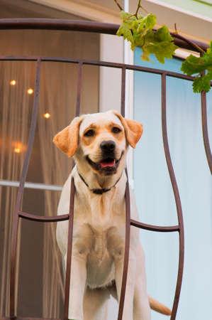 Funny labrador at the balcony. photo