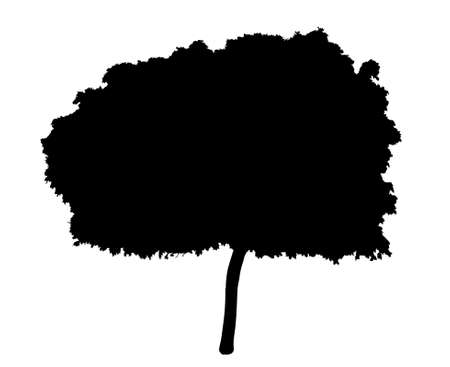 Tree silhouette - young maple tree, isolated on a white background. Vector