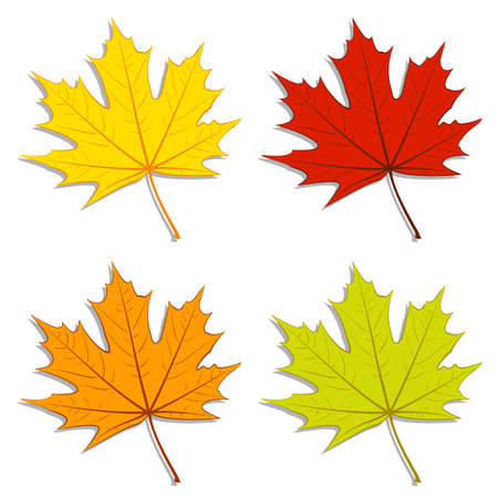 sycamore: Set of colorful maple leaves.  Illustration
