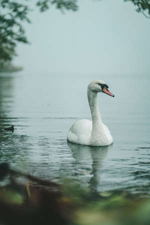 Swan on the Alster lake in Hamburg, Germany