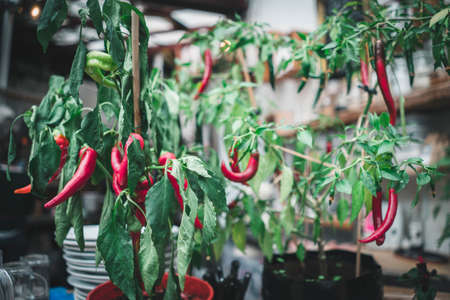 Red chillies on a shrub